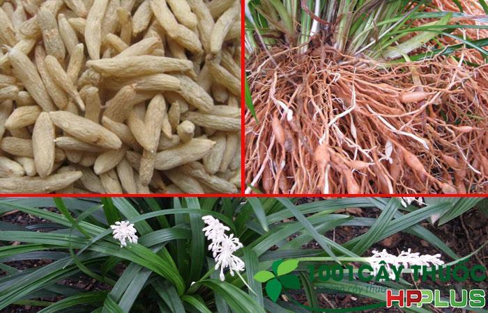Mạch môn – cây cỏ ven đường và công dụng trị suy tim, viêm phế quản